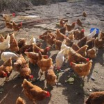 Hühner 02