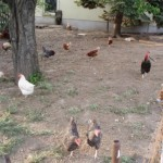 Hühner 03